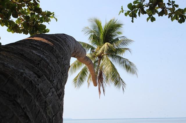 Vysoký kokosovník